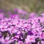 flowers-28